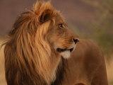 Male Lion, Namibia, South Africa Fotografisk tryk af Keith Levit
