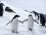 Adelie and Chinstrap Penguin, Antarctica Photographic Print by Ernest Manewal