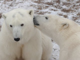 Polar Bears, Churchill, Manitoba Fotografie-Druck von Keith Levit