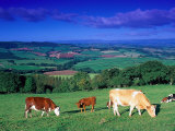 Cows in the Valley, South Wales Fotografie-Druck von Peter Adams