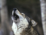 Gray Wolf Howling, Canis Lupus, MN Photographic Print by D. Robert Franz