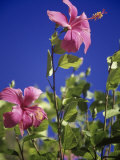 Pink Hibiscus Photographic Print by Chel Beeson