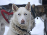 Dog at Dog Sled Race Photographic Print by Jim Oltersdorf