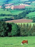 Cows in the Valley, Switzerland Photographic Print by Peter Adams