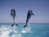 Two Jumping Dolphins Fotografisk trykk av Stuart Westmorland