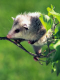 Opossum in Dogwood Tree Photographic Print by David Davis