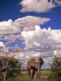 Elephant in Etosha National Park, Namibia Fotografisk tryk af Walter Bibikow