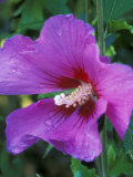 Hibiscus Syriacus, Russian Violet (Rose of Sharon), with Raindrops Photographic Print by Mark Bolton