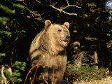 Grizzly Bear at Edge of Forest Photographic Print by Guy Crittenden