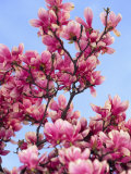 Magnolia Blossoms, Central Park, NY Fotografie-Druck von Rudi Von Briel