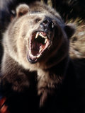 Grizzly Bear Growling Photographic Print by Guy Crittenden
