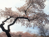 Cherry Tree, Branch Brook Park, NJ Fotografie-Druck von Rudi Von Briel