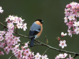 Bullfinch, Pyrrhula Pyrrhula, Male, Feeding on Cherry Blossom, UK Photographic Print by Mark Hamblin