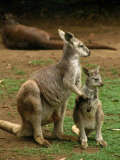 Female Kangaroo with Joey, Australia Photographic Print by Inga Spence