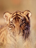 Bengal Tiger Cub, Panthera Tigris Photographie par D. Robert Franz