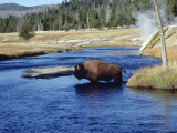 Bison Crossing the Firehole River, WY Photographic Print by Guy Crittenden