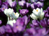 Crocuses, Scotland Photographic Print by Iain Sarjeant