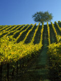 Fall Foliage in Vineyard, Sonoma, CA Fotografie-Druck von Inga Spence