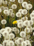 Field of Dandelion, Sitka, AK Photographic Print by Ernest Manewal