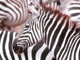 Zebra, Tanzania (Ngorongaro) Fotografisk trykk av John Dominis
