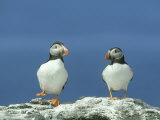 Puffin, Pair on Rock, Scotland Reproduction photographique par Mark Hamblin