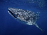 Whale Shark, Swimming, Australia Fotografie-Druck von Gerard Soury