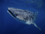Whale Shark, Swimming, Australia Photographic Print by Gerard Soury
