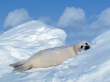 Harp Seal Pup, Pagophilus Groenlandicus, Canada Photographic Print by D. Robert Franz