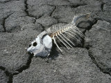 Dead Carp from Pollution on Dry Mud Photographic Print by Frank Staub