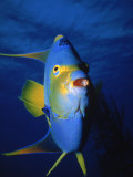 Single Queen Angle Fish Fotografisk tryk af Mike Mesgleski