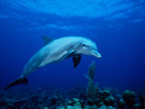Bottlenose Dolphin, Underwater, Providenciales Photographic Print by Gerard Soury