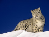 Snow Leopard 5-Month-Old Cub Photographic Print by Daniel J. Cox