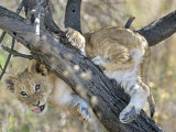 African Lion, Young Cub Climbing Tree, Southern Africa Fotografie-Druck von Mark Hamblin
