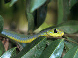 Boomslang, Dispholidus Typus, Tanzania Lmina fotogrfica por D. Robert Franz