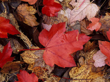 Close-up of Fallen Bright Red Dark Brown and Light Brown Leaves in November Photographie par Lynn Keddie