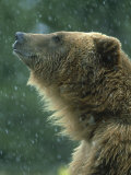 Grizzly Bear, Portrait, USA Photographic Print by Mark Hamblin