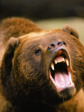 Roaring Grizzly Bear Photographic Print by Stuart Westmorland