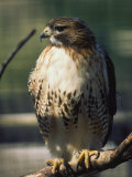 Red Tailed Hawk, New England, MA Photographic Print by Ed Langan