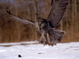 Harold Wilion - Great Gray Owl Flying, Rowley, MA Fotografická reprodukce