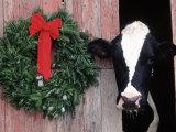Holstein Cow in Barn with Christmas Wreath, WI Fotografisk tryk af Lynn M. Stone