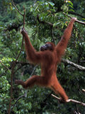 Sumatran Orangutan, Pongo Pygmaeus, Indonesia Photographic Print by D. Robert Franz