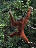 Sumatran Orangutan, Pongo Pygmaeus, Indonesia Photographic Print by D. Robert Franz