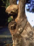 Sloths, Rio de Janeiro, Brazil Photographic Print by Jeff Dunn