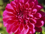 Dahlia Grace Nash, Close-up of Pink Flower Photographic Print by Lynn Keddie
