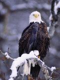 Bald Eagle, Chilkat River, AK 写真プリント : エリザベス・デレーニー