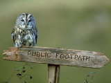 Tawny Owl, Perched on Public Footpath Sign, Scotland Stampa fotografica di Jonathan Gale