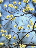 Branches of Spring Flowering Tree