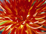 Dahlia Carnival Photographic Print by Lynn Keddie