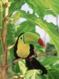 Toucan perché sur une branche Papier Photo par Stuart Westmorland