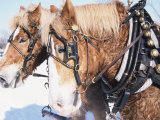 Belgian Draft Horses in Winter, WI Photographic Print by Sally Moskol